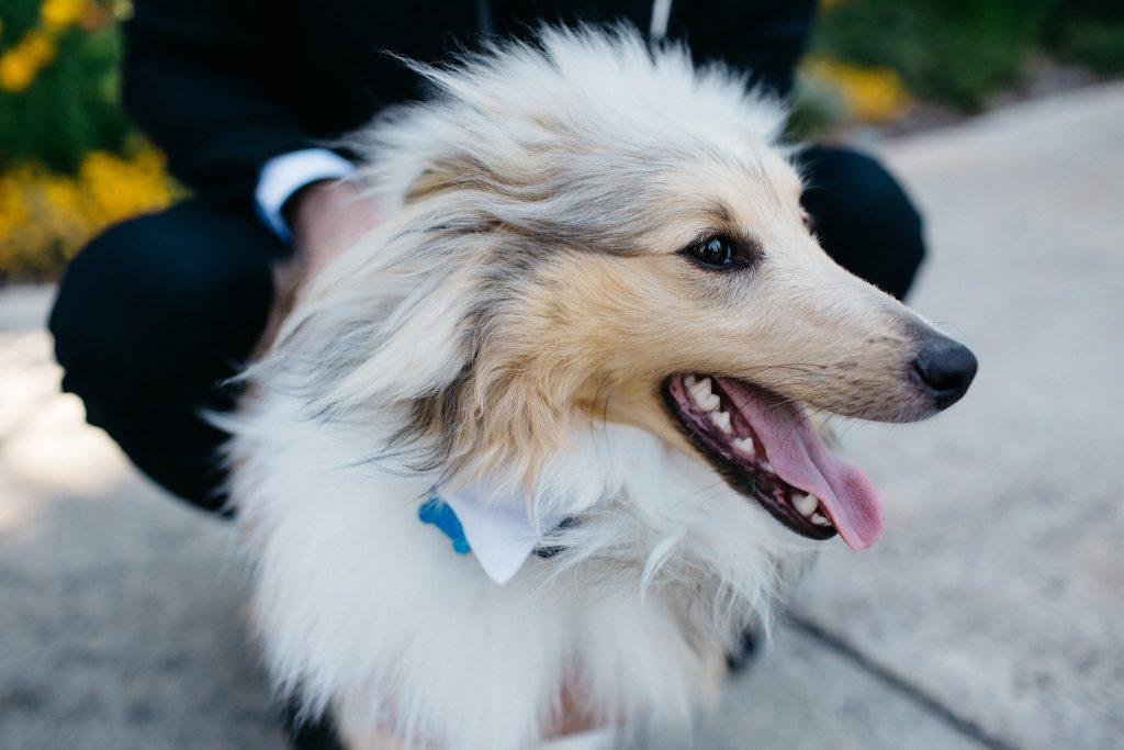 Dog ring bearer, Perth Kings Park Wedding